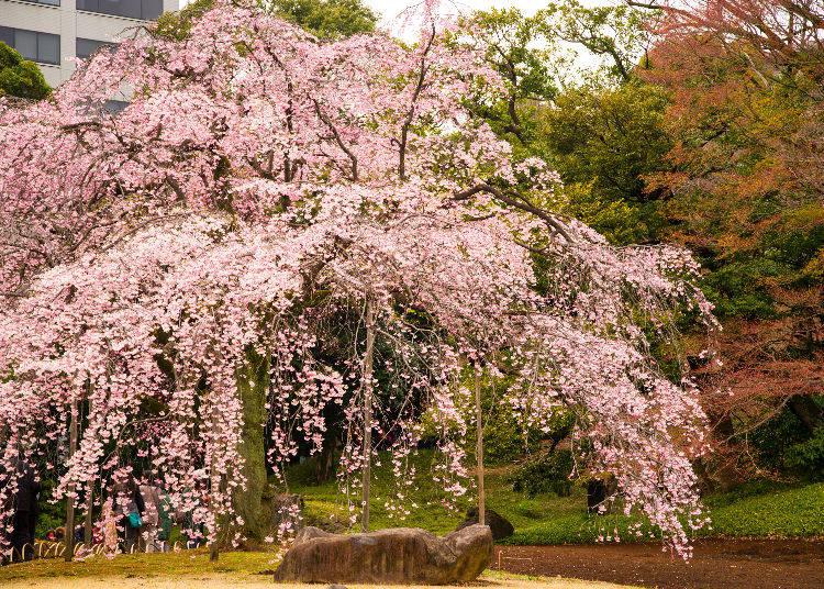 8 - Koishikawa Korakuen Gardens