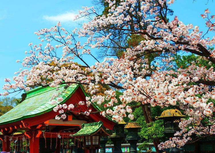 Why is a tanuki a deity?