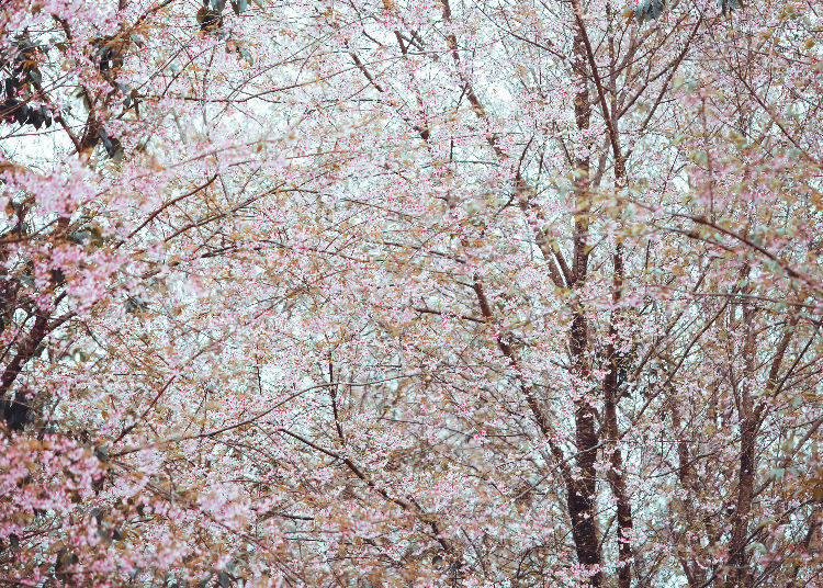 Why is it a famous cherry blossom spot?