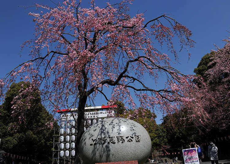 ทำไมถึงเป็นสถานที่ที่มีชื่อเสียงด้านซากุระหรือ?