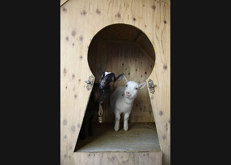 Sakuragaoka Cafe: Enjoy Coffee with Goats!
