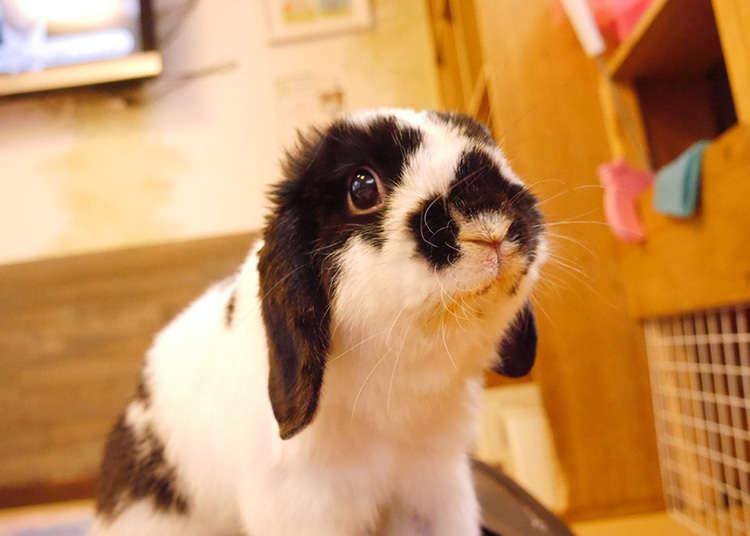 和軟綿綿的兔子玩耍