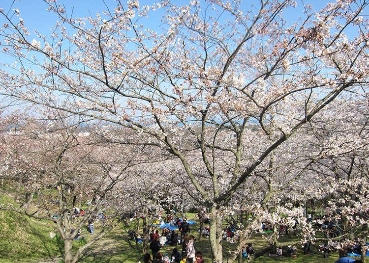 Sebuah taman yang menawarkan tempat bersejarah, bunga sakura dan pandangan Yokosuka