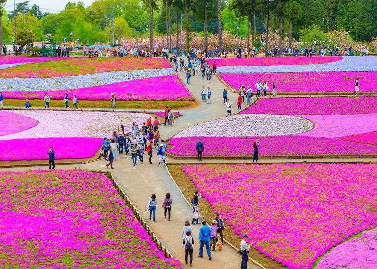"""Berjalan-jalan ke """"Chichibu"""" dan melihat bunga shibazakura. Anda dapat menikmati hamparan bunga merah muda!"""