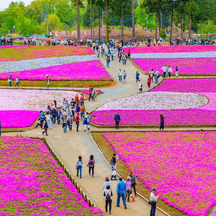 """为粉色花瓣地毯而感动!漫步""""秩父""""赏芝樱"""