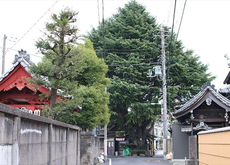 Pohon Cedar Himalaya Berusia 90 Tahun