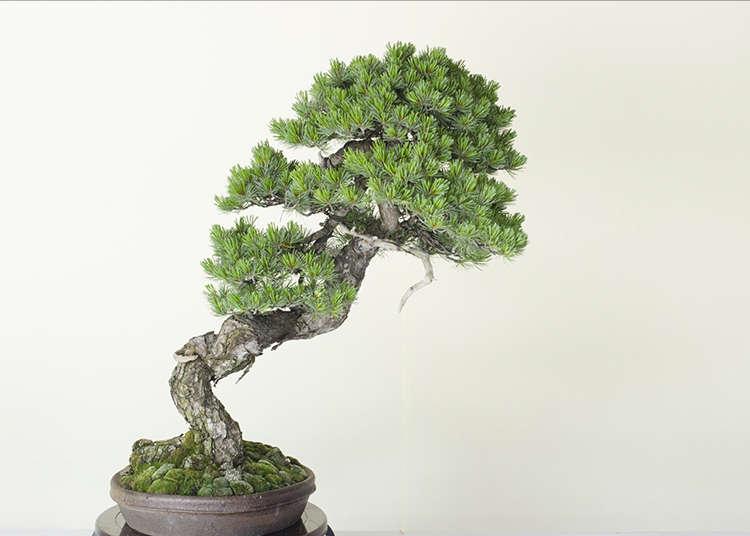 日本的文雅藝術「盆栽」很熱門!