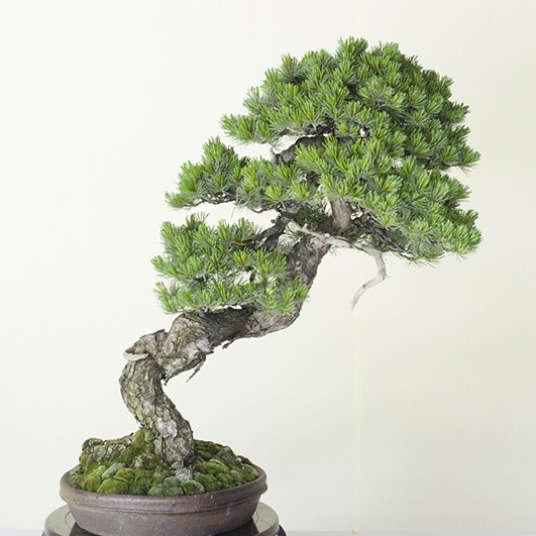 """""""Bonsai"""" kecantikan abadi"""