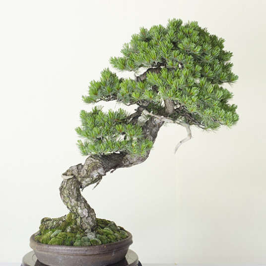 Japanese Bonsai: The Timeless Beauty of Miniature Trees