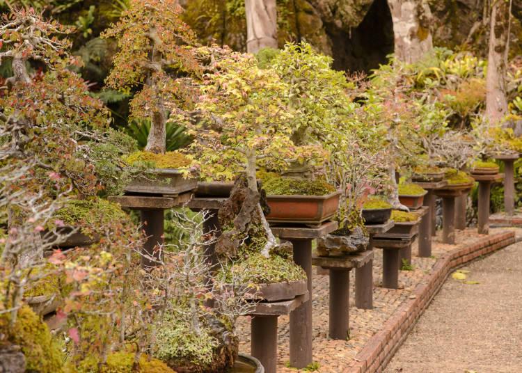 Roots of bonsai: A long history