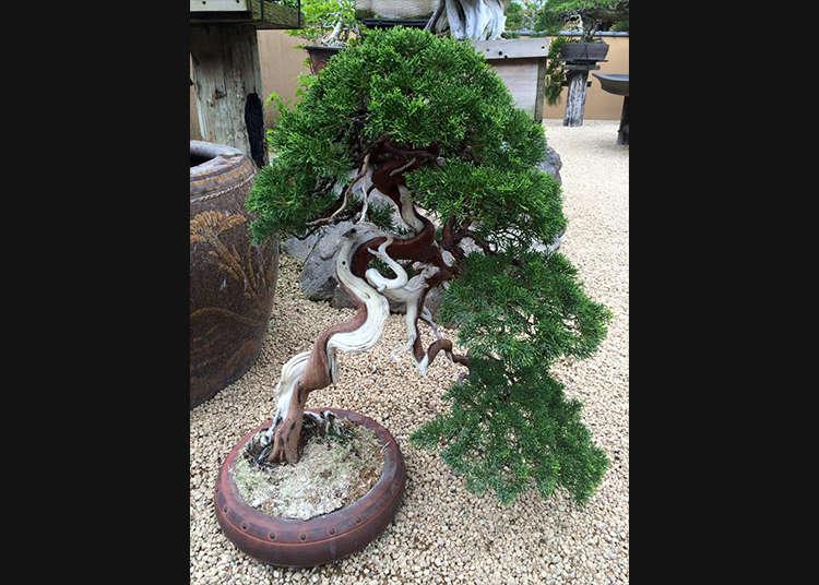 樹木が盆栽に変わる瞬間