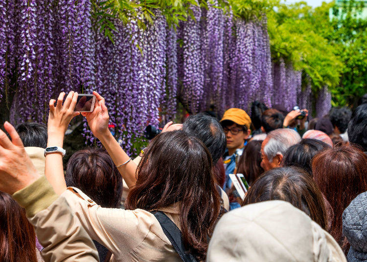 Kameido Tenjin Shrine Fuji (Wisteria) Festival