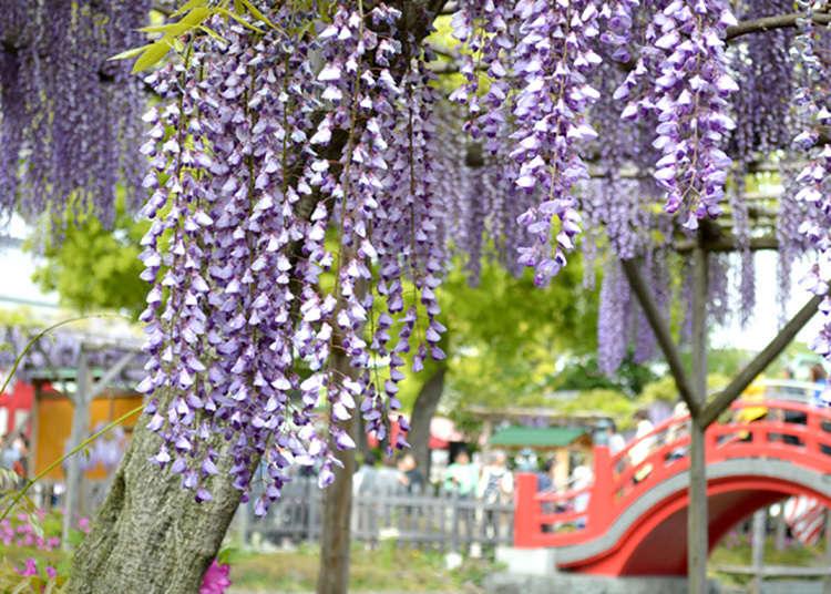 Kameidotenjinja fujimatsuri (pesta bunga wistaria)