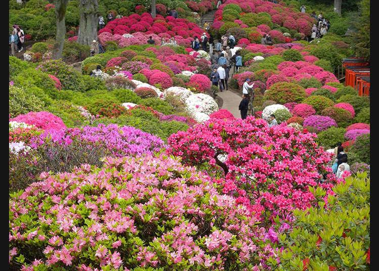 เทศกาลดอกสึสึจิแห่งบุงเคียว