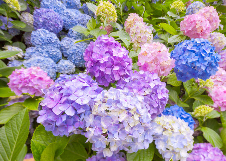 Lokasi Untuk Menikmati 'Ajisai' (Hydrangea) dan 'Hanashobu' (Bunga Iris Jepang), Bunga-Bunga pada Bulan Juni