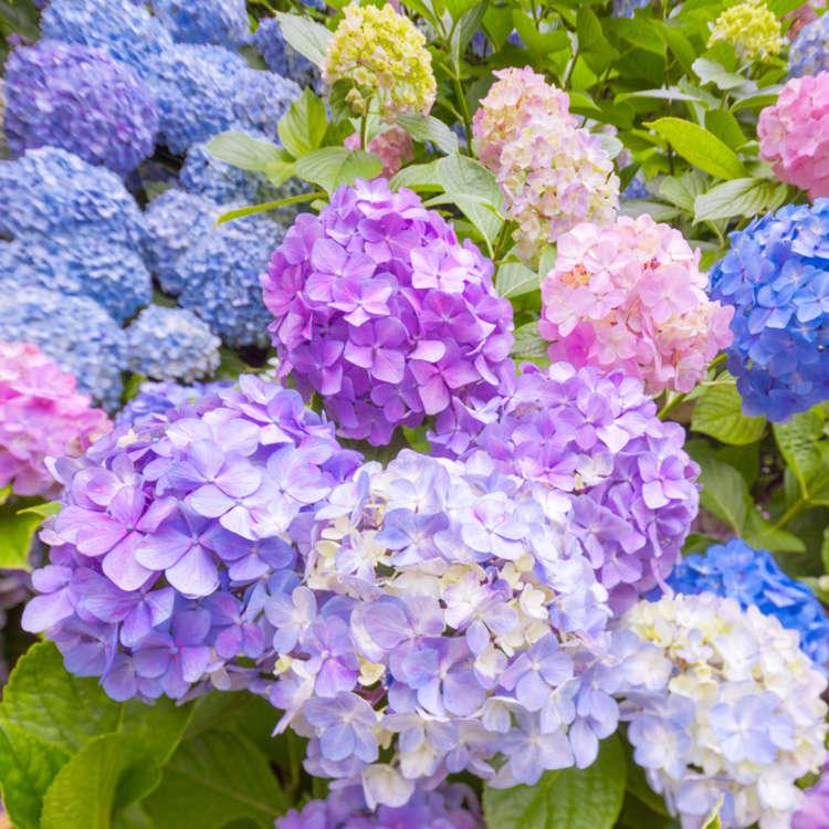 6月之花「繡球花」「花菖蒲」的賞花景點