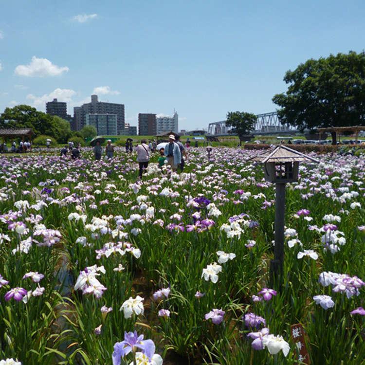 Koiwa Iris Garden