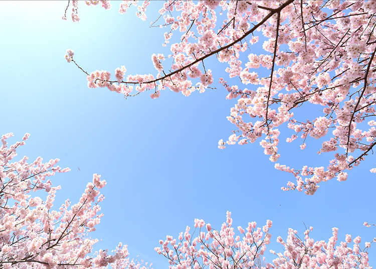 "What is Japan's unique forecast, the ""Japan's Cherry Blossom Fronts"" about?"