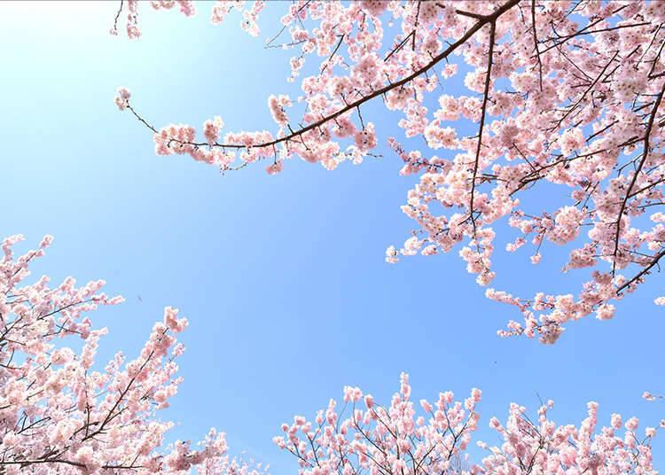 일본의 독자적인 일기 예보 '벚꽃 전선'이란?