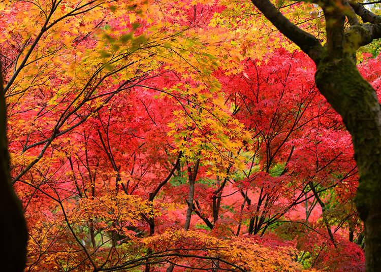 Koyo: Daun - Daun Musim Gugur
