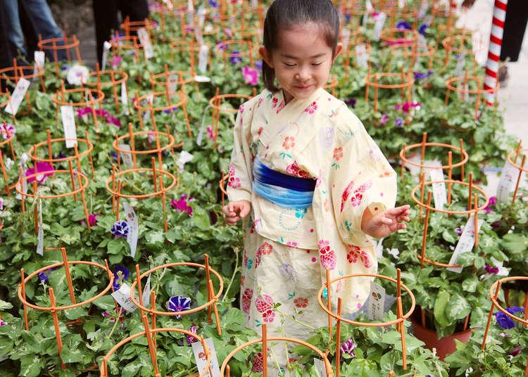 若想一覽東京的夏日花朵,請到夏日風物詩之一的牽牛花市和錦燈籠花市