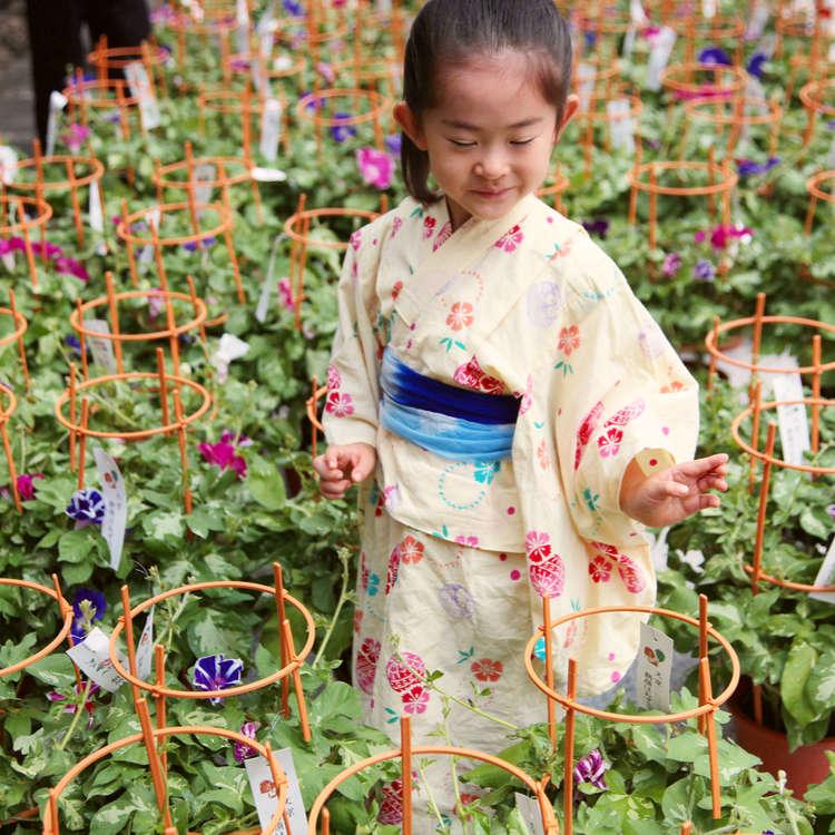 东京夏季赏花必去之地——牵牛花市场和酸浆花市场