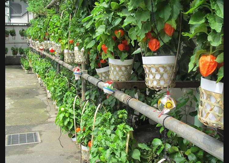 Bunkyo Hozuki-Ichi (Festival Chinese Lantern di Bunkyo)
