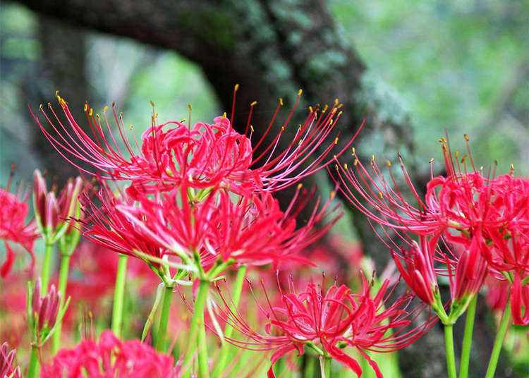 September Has Come: Discover the Best Cosmos and Amaryllis Spots