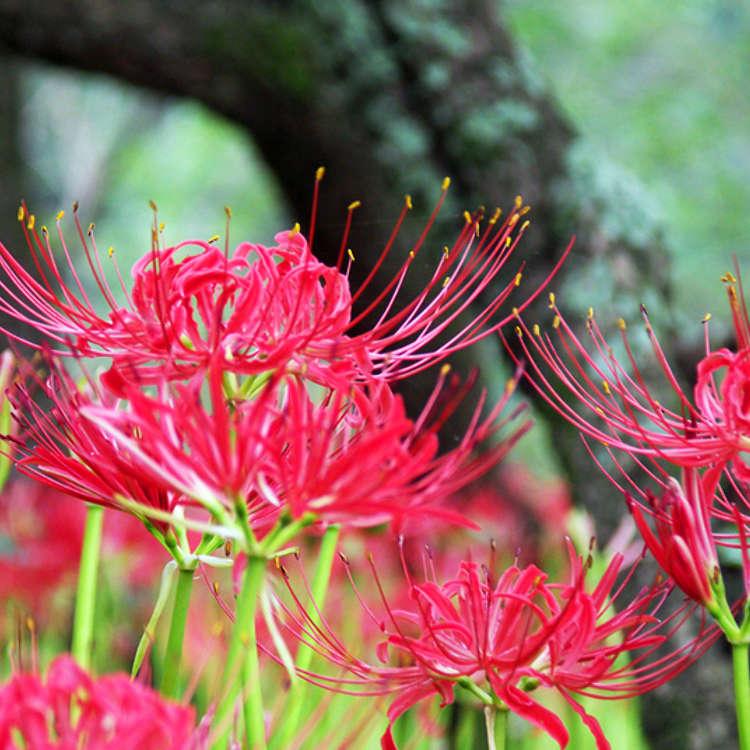 コスモス&彼岸花が咲く9月の花スポット