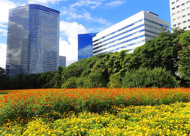 高層ビルを背景に咲き誇るコスモス