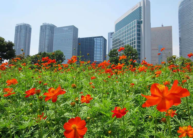 将高楼大厦作为背景亮丽盛开的波斯菊