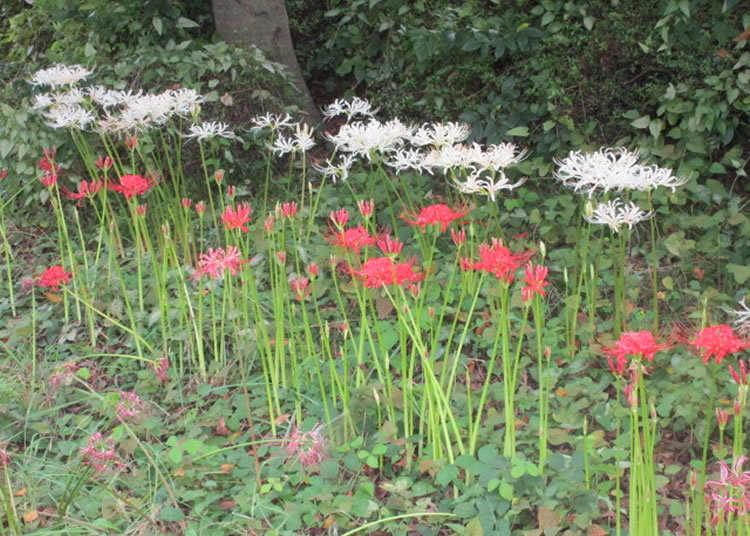 不仅仅是红色还可欣赏白色的曼珠沙华