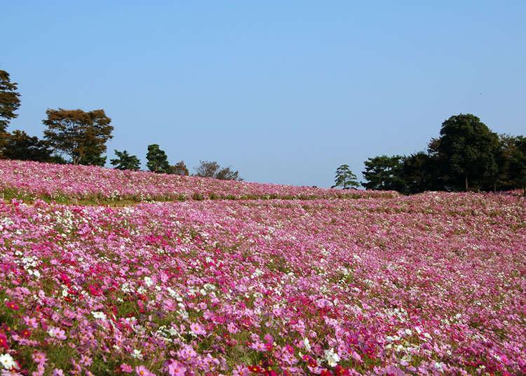 總數約560株東京都內最大規模的波斯菊花海