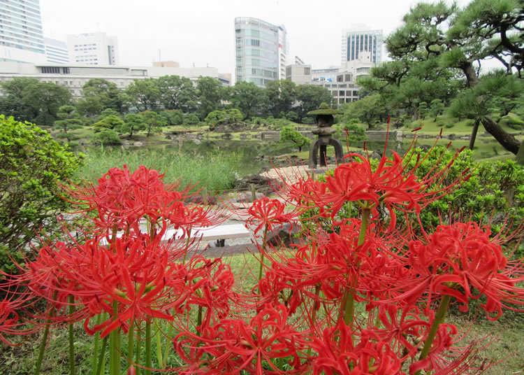 在迴遊式庭園著色的曼珠沙華