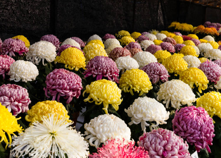 분쿄 국화 축제(마츠리)