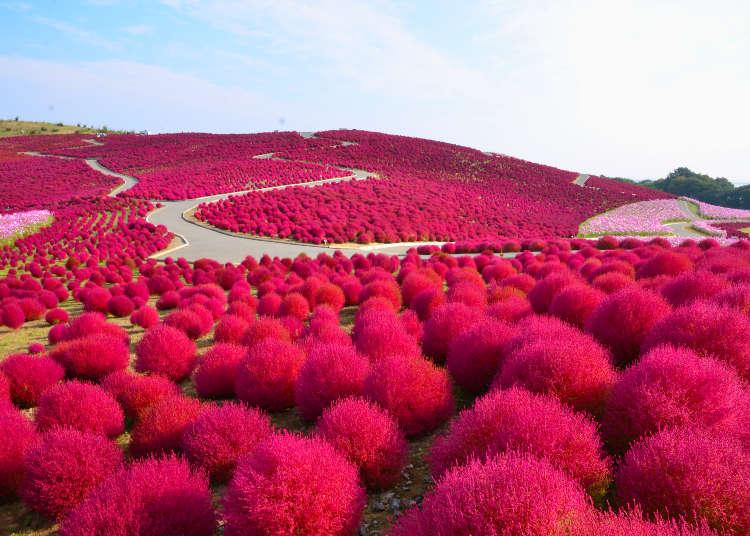 賞秋季玫瑰的公園&地膚的紅葉和波斯菊競豔的景點