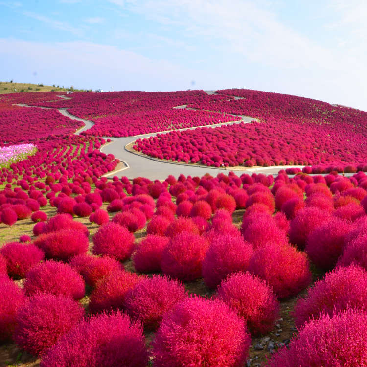 赏秋季玫瑰花的公园&地肤草的红叶和波斯菊景点