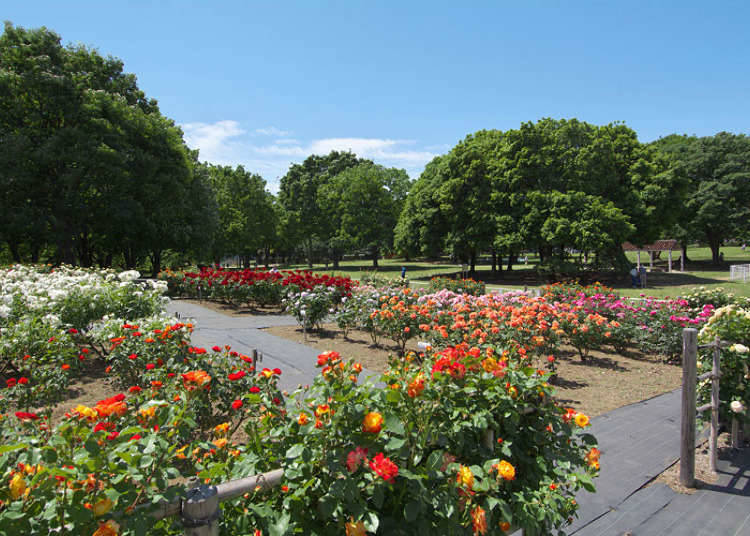 Kinuta Park: Over Two Hundred Roses, Pastel and Vivid