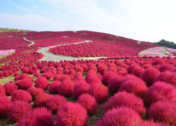 Hitachi Seaside Park: A Contest Between Kochia and Cosmos