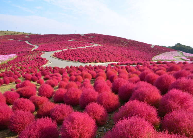 鲜红的地肤草和可爱的波斯菊争妍斗艳。