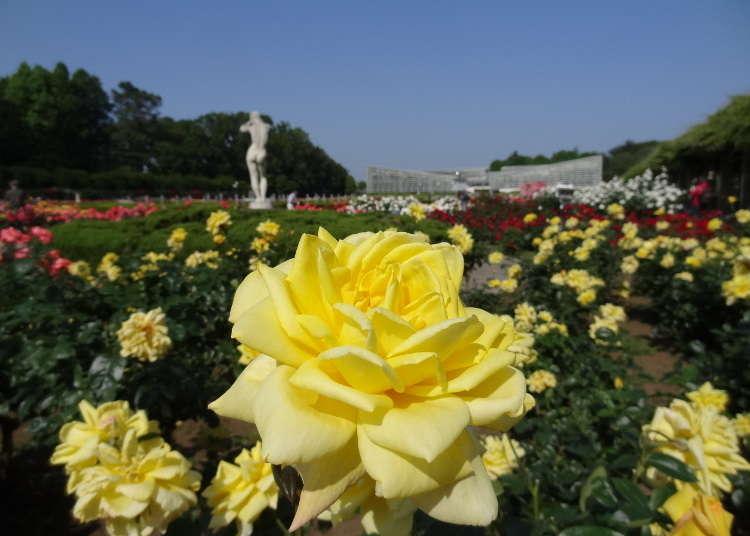 不論規模和品質均為東京都內一流的玫瑰花景點