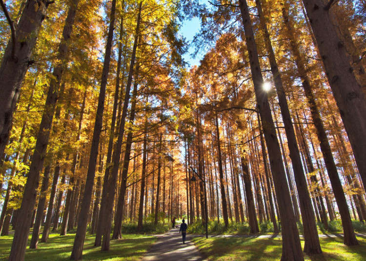 Mizumoto Park: The Rare Colors of the Dawn Redwood