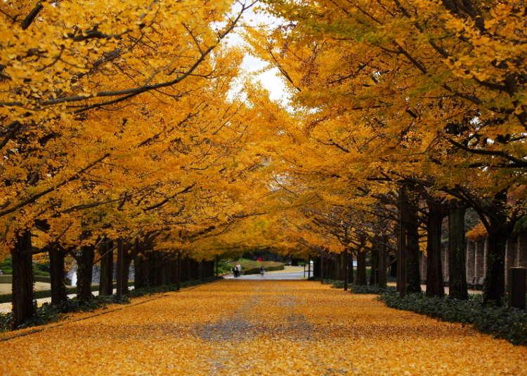 黄色の絨毯が圧巻のイチョウ並木