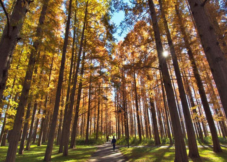 罕见的水杉红叶