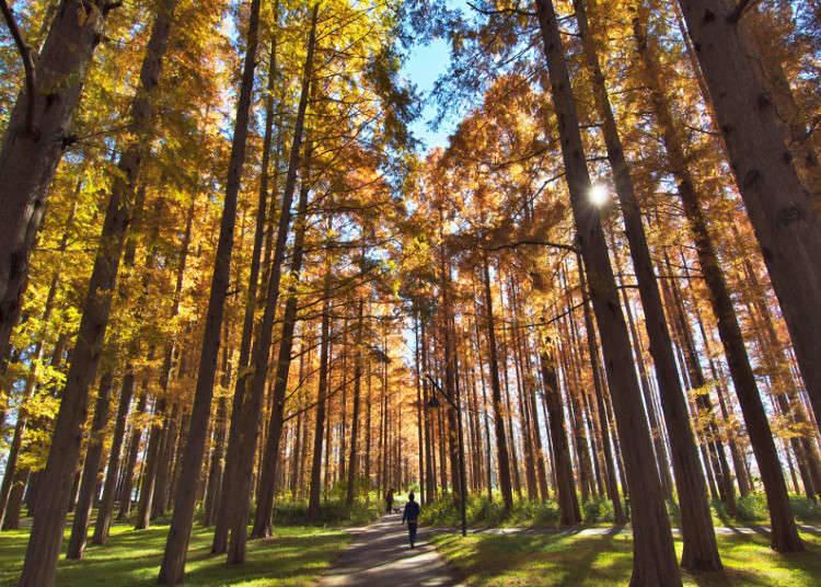 稀有的水杉紅葉