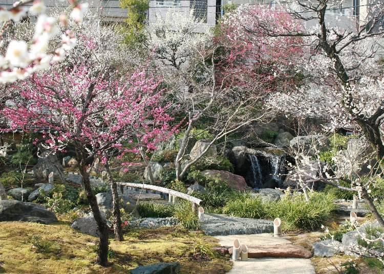 The Yushima Tenmangu Plum Festival