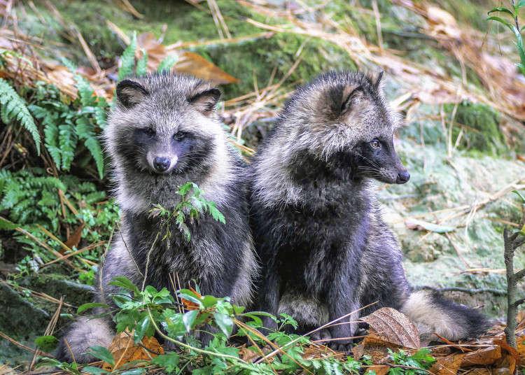 幻化骗人?还是只是普通的动物?日本的狸猫传说