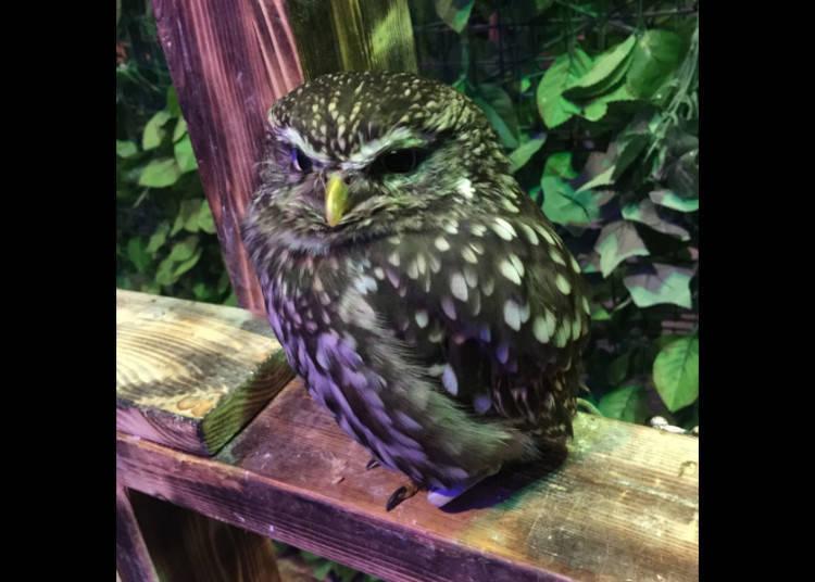 Owl Secrets
