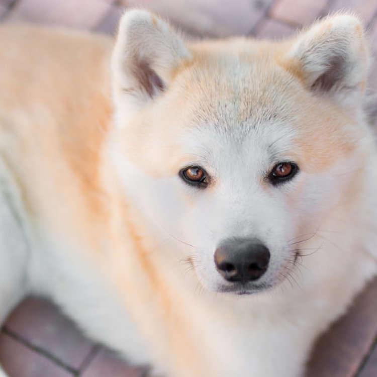 忠犬ハチ公──ある献身的な犬の物語