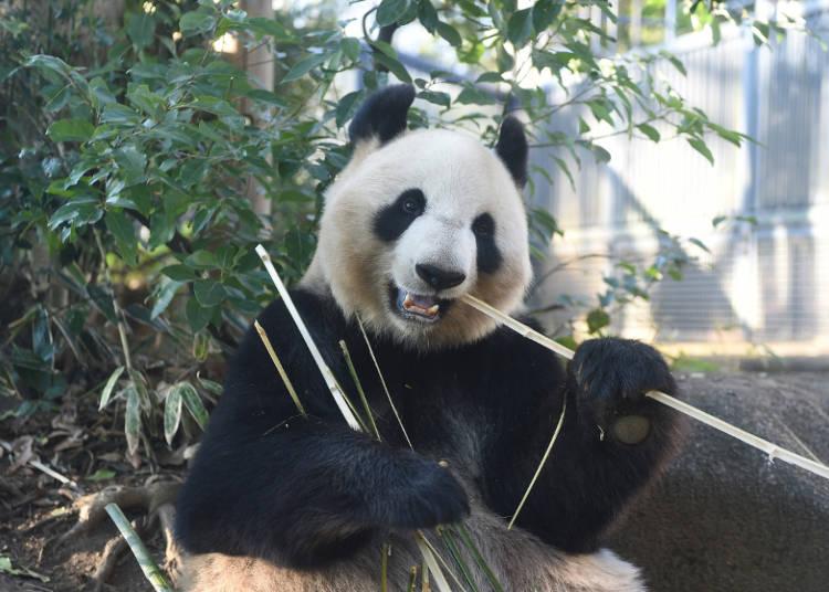 中国からパンダが来園